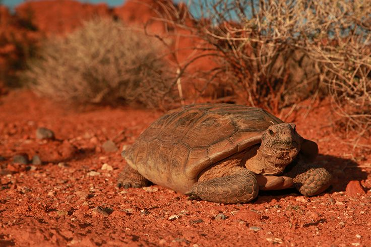 Valley of Fire-tortoise