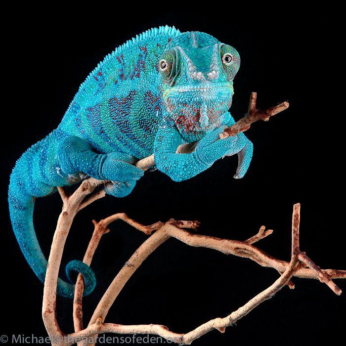 Furcifer paradalis, Panther Chameleon  by Michael Kern, via 500px