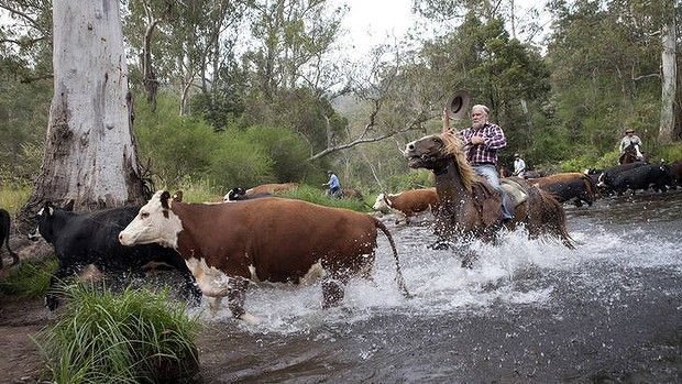 Charlie Lovick heads his cattle across the Howqua River in the Howqua Historic Hills Area in Mansfield State Forest Victoria on Fri 30th November. Photo. & Copyright Melanie Faith DOve