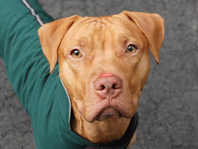 TO BE DESTROYED 11/9/13 Manhattan Center P~HANDSOME~ID # is A0982447 Male.tan pit bull mix. STRAY 10/18/13,  JUST A BABY @ 11 MONTHS old!!! Likely house trained,  sitting immediately for treats or a throw of the ball, A little rowdy when playing tag - retrainable! A walk in the park is like a dream come true for him. What more could you ask for in a pet? Come on in to our Manhattan Care Center and rescue your very own Handsome prince today!