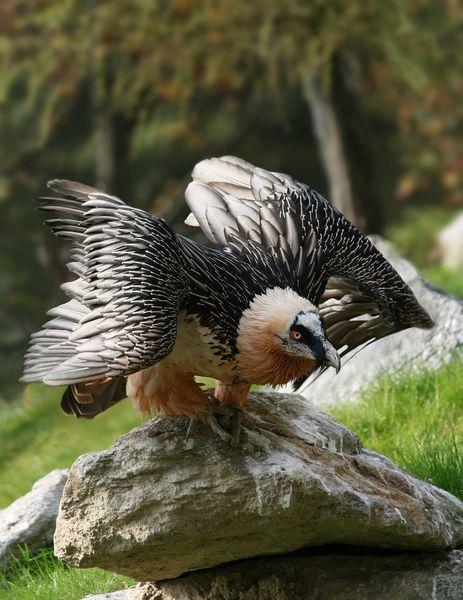 Quebrantahuesos bird of prey