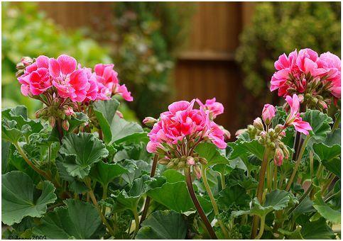 A tavasz sláger növénye a muskátli!