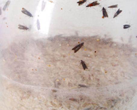 Les mites alimentaires, également appelées « pyrales de la farine », sont des papillons qui s'introduisent dans le riz, les céréales, le sucre, le chocolat, la farine, etc. Quand les larves envahissent les placards, il est difficile de s'en débarrasser… Heureusement, grâce aux astuces de nos grands-mères, on peut s'en débarrasser facilement !