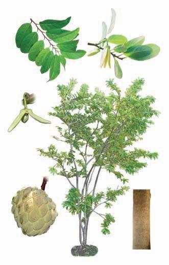 Annona squamosa - Sweetsop, sugar apple, custard apple