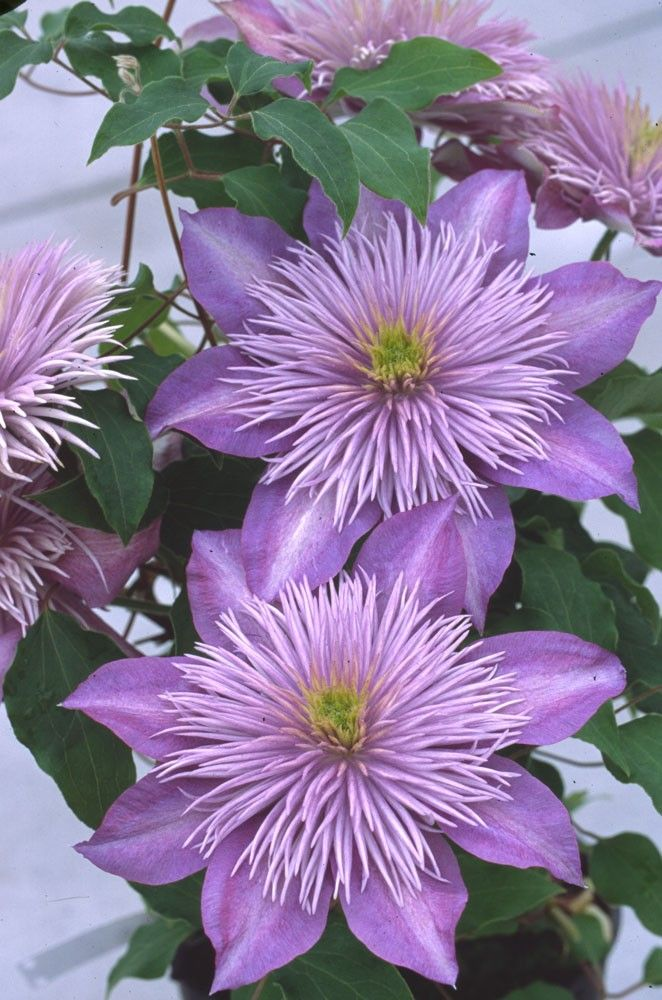 'Crystal Fountain' (Fairy Blue) Clematis