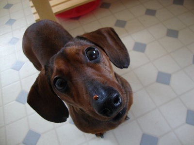 Blue - asking his Mum if he can keep the little ladybug on his nose. The winner of my Portrait-Pose Photo Contest!: Photos, Portrait Pose Photo, Daschund, Photo Contest, Celebrity Dachshund, Friend
