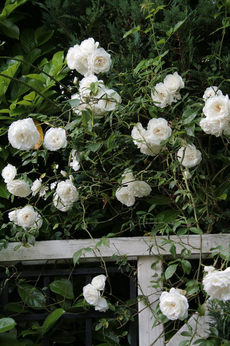 rose schneewittchen my garden pinterest sloped. Black Bedroom Furniture Sets. Home Design Ideas