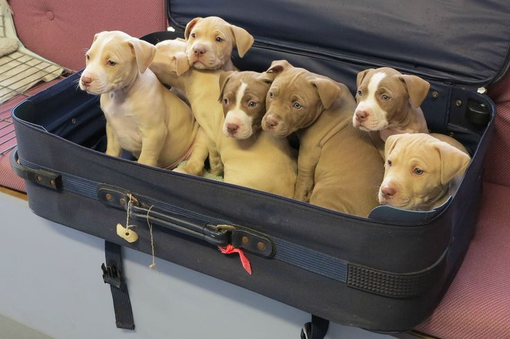 Cheap puppies try to sneak past airport security in a suitcase, refuse to buy tickets for themselves.