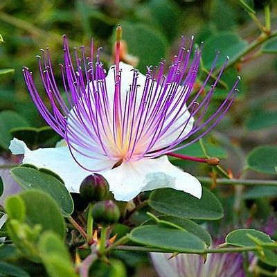 Caper Bush (Capparis Spinosa) - the caper bush, also called Flinders rose, is a perennial, flowering plant that bears rounded, fleshy leaves and large white to pinkish-white flowers. Caperbushes are m