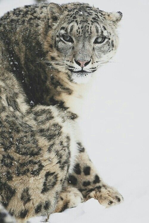 irbis, snow leopard of central asia