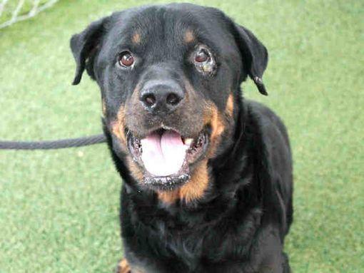 Phoenix Az Rottweiler Meet Patchie A Dog For Adoption Pets