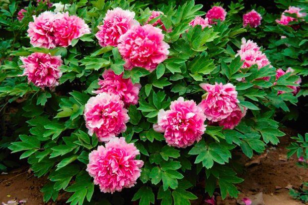 Piwonia drzewiasta (krzewiasta). Ta odmiana ma różowe pełne kwiaty