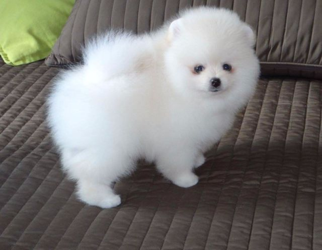Teacup Pomeranian Puppies 1 White Female Left In Sale Manchester Gum Pomeranian Puppy Pomeranian Puppy For Sale White Pomeranian