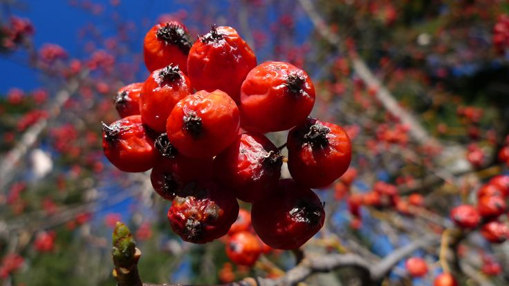 berries from trees