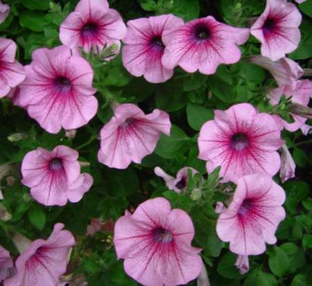153 best images about spring annuals on pinterest for Surfinia balcone
