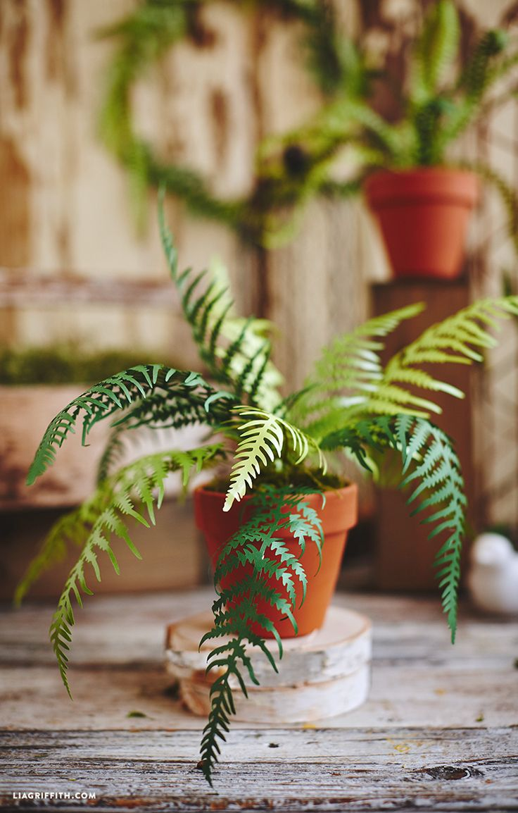 http://Papr.Club - Another cool link is lgautotransport.com  Potted Paper Fern Plants