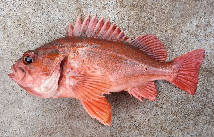 how to fish for rock cod