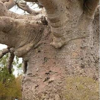 The wonderful baobab tree