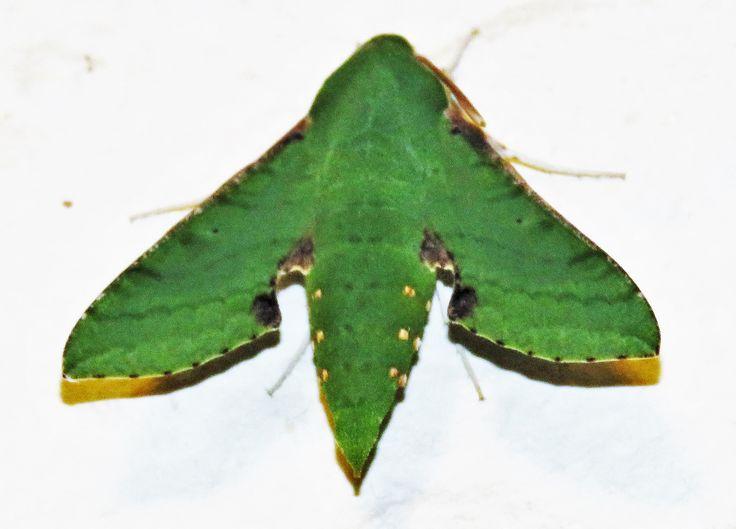 Moth Newcastle KZN South Africa
