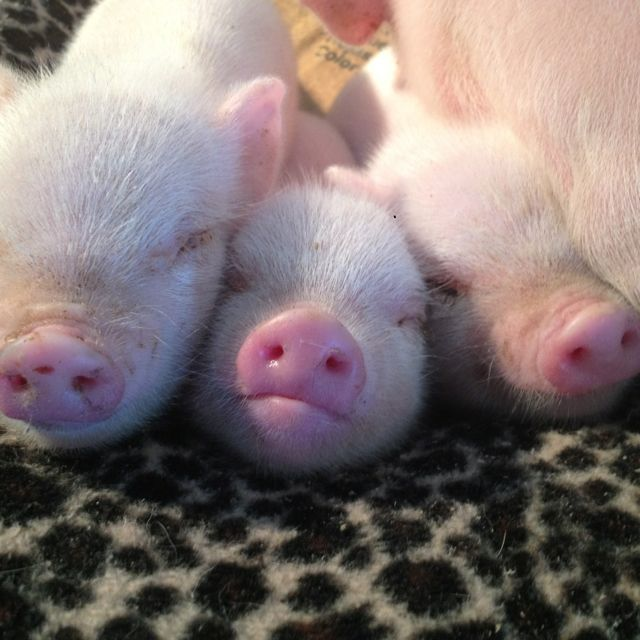 OMG!!  Look at those cute little piggy noses!!!  <3