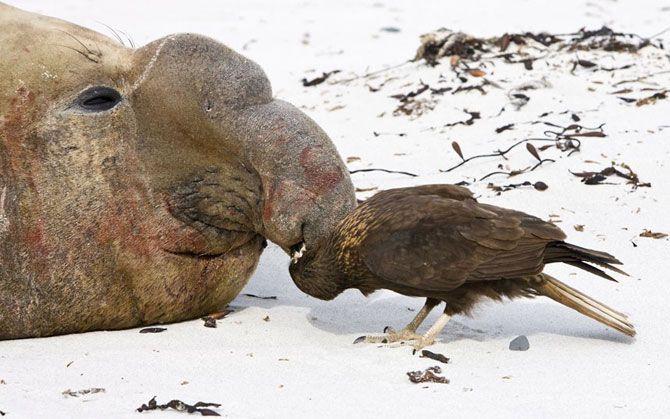 на этой фотографии вы можете увидеть морского слона на осмотре «лор-врача» – хищной птички. Огромное животное не на шутку заинтересовало любопытного пернатого сыщика. Около трех минут птица выискивала паразитов из носа гигантского морского льва. Эта забавная картина была запечатлена на Острове Морских Львов на Фолклендских островах.