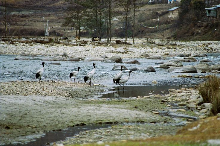 Black Necked Cranes - migratory birds in eastern Himalayan wetlands  #landscape #Himalaya #birds #wildlife #mountain #wetland #endangered #biodiversity @PragyaNGO