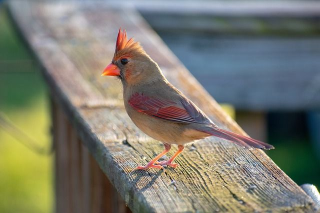 Free Image On Pixabay Bird Red Cardinal Female Nature