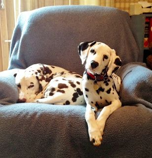 When I grow up I'm going to have a Dalmatian named after Leonard Bernstein and all will be right with the world.