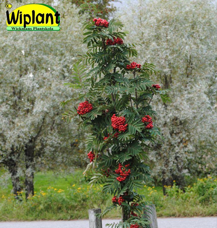 Sorbus aucuparia fastigiata, pelarrönn. Smal form ympad på vanlig rönn. Höjd: 3-4 m.