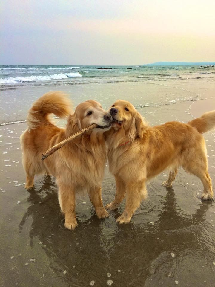 Just take a moment to enjoy these sweet golden retrievers sharing a stick on the beach. And pass it on if you smile :)