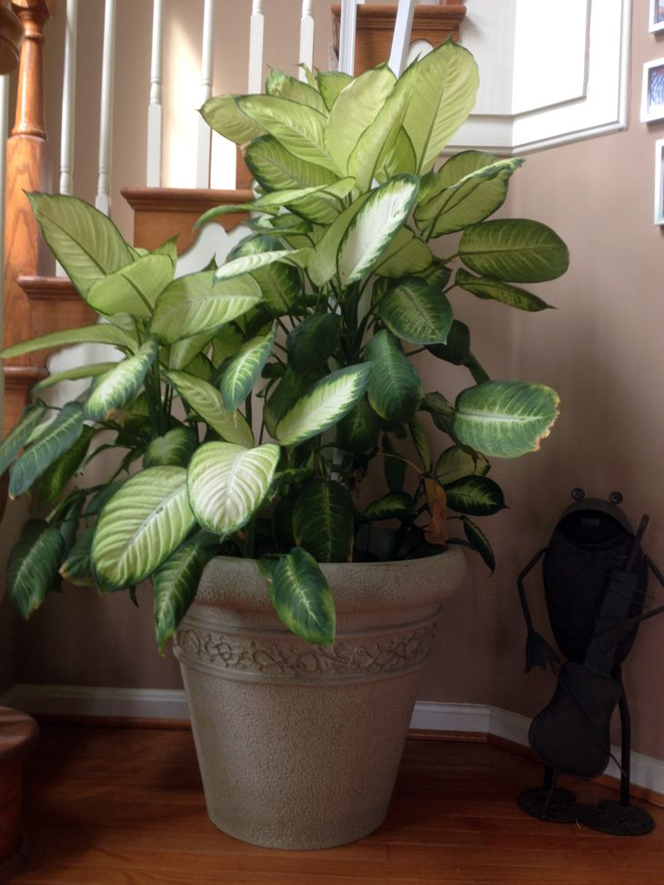 1000 ideas about tropical house plants on pinterest large indoor plants house plants and - Best tall indoor house plants ...