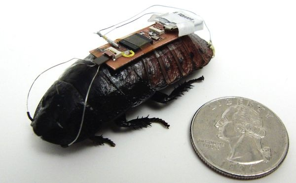 Researchers from North Carolina State University have developed a technique that uses an electronic interface to remotely control, or steer, cockroaches.Wires attached to the antennae are essentially reins that feed small charges into the roach's neural tissue, which fool the roach into thinking there is something they need to steer clear of. In doing so, researchers were able to steer the roach along a curved line.