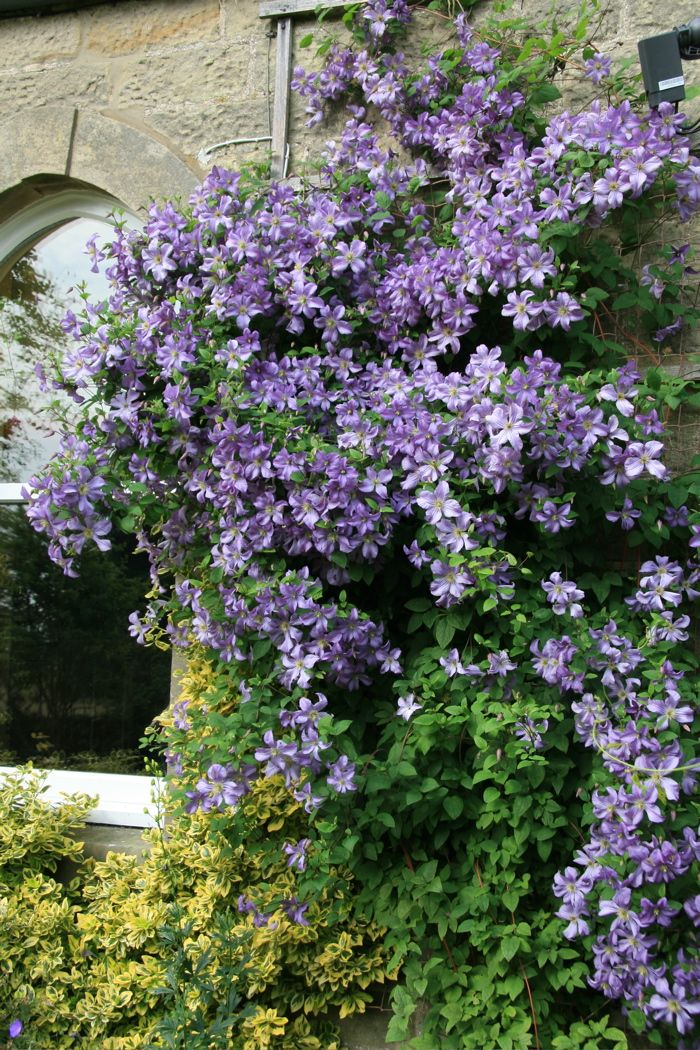 the 39 best images about clematis on pinterest plants. Black Bedroom Furniture Sets. Home Design Ideas