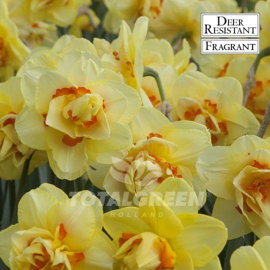 #Daffodils #Narcissi #Flowerbulbs #Landscaping