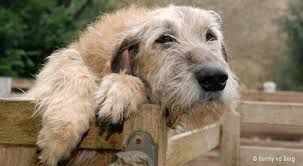ierse wolfshond - Google zoeken - Irish Wolfhound be still my heart