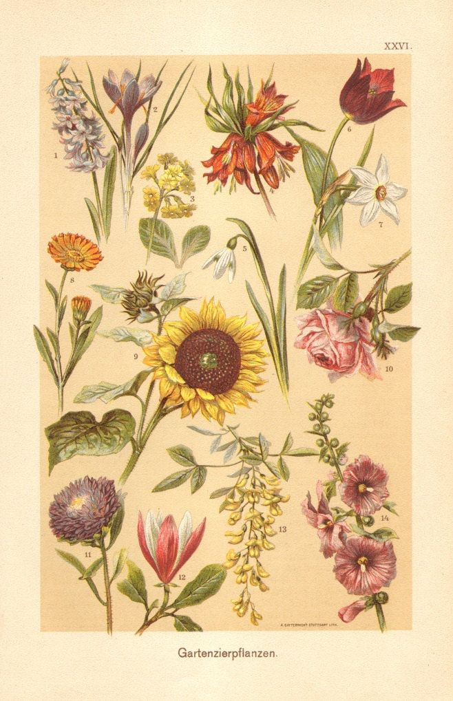 1901 Antique Chromolithograph of Ornamental Plants, Hyacinth, Crocus, Auricula, Snowdrop, Tulip, Narcissus, Sunflower, Rose, Aster, Magnolia by CabinetOfTreasures on Etsy