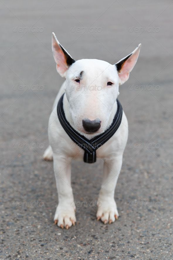domestic dog Miniature Bull Terrier breed ...  animal, brawny, breed, bul, bully, collar, companion, cute, dog, doggie, doggy, ears, gladiator, miniature, miniature bull terrier, muscular, pet, powerful, purebred, short, short-haired, small, stand, stocky, terrier, walk, white