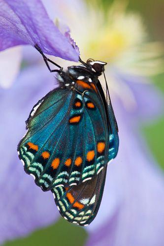 Limenitis arthemis Butterfly