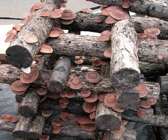 A Shiitake mushroom growing plan