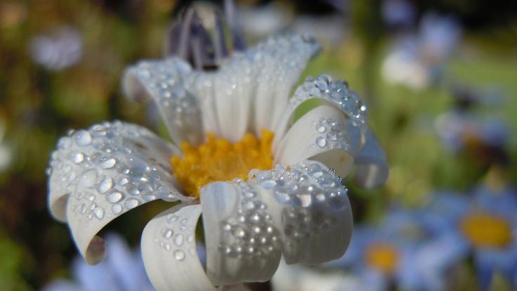 White daisy bush (Felicia amelloides)