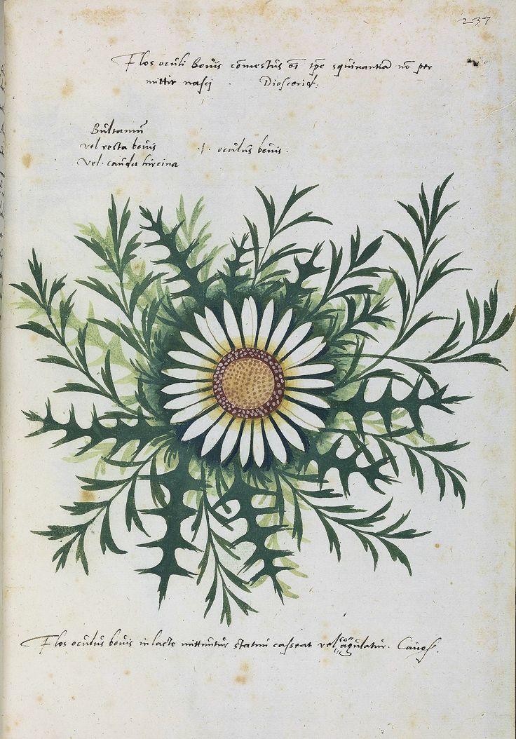 Vatikan, Biblioteca Apostolica Vaticana, Pal. lat. 1277 Thessalus <Cous>; Ps.-Alexander Magnus Herbarium pictum — Süddeutschland, 2. Hälfte 16. Jh. Page: 237r http://digi.ub.uni-heidelberg.de/diglit/bav_pal_lat_1277/0479