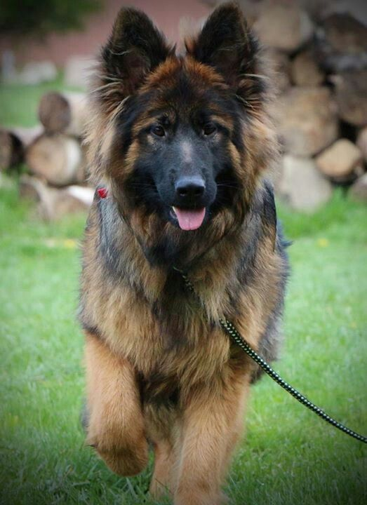 1000  ideas about Long Haired German Shepherd on Pinterest