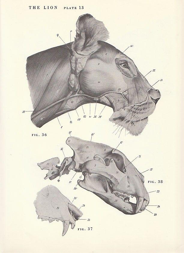 82 best Lion Anatomy images on Pinterest | Big cats, Wild animals ...