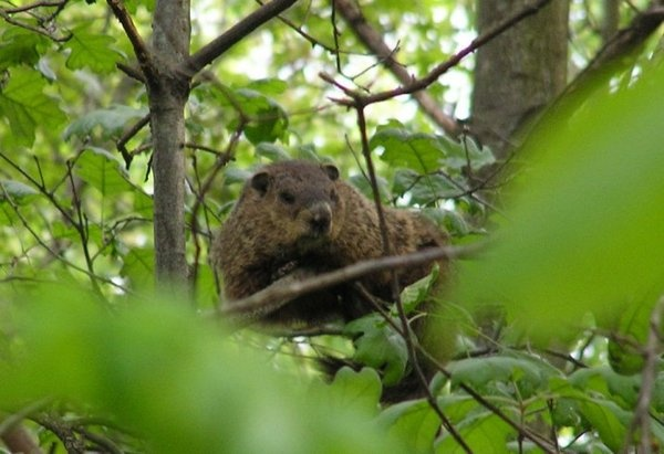 how much ground can the groundhog grind when he's up a tree?