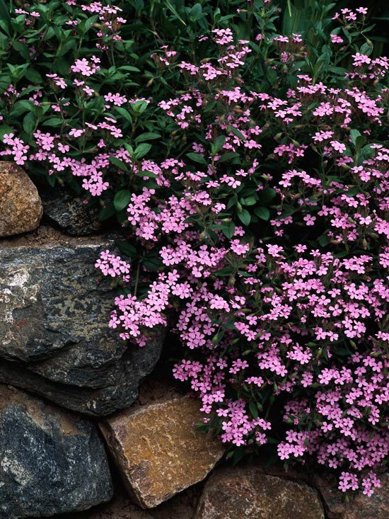 Soapworts are underappreciated plants. Many of them make fine groundcovers. 'Max Frei' is a low-growing, mat-forming selection that is highlighted with starry pink flowers in spring. It's an excellent choice for gardens because it tolerates summer's heat and humidity.