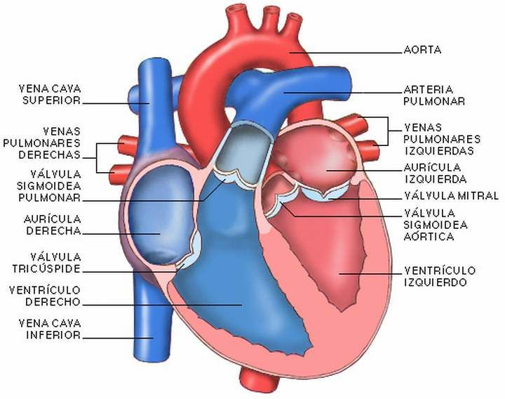 Las partes del corazón humano.