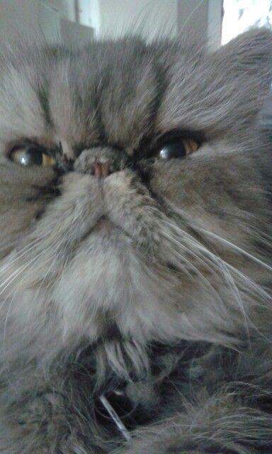 Salomón gato reproductor de Persas Nissi  No disponible para la venta sólo servicio 1537011866