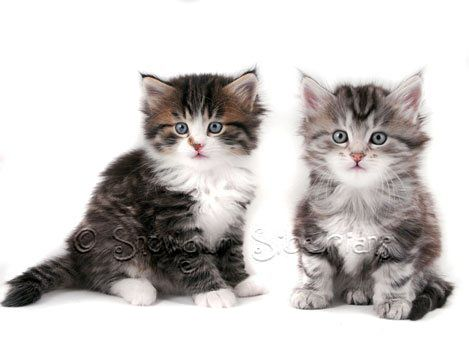 Available Siberian Kittens Sydney 2015!