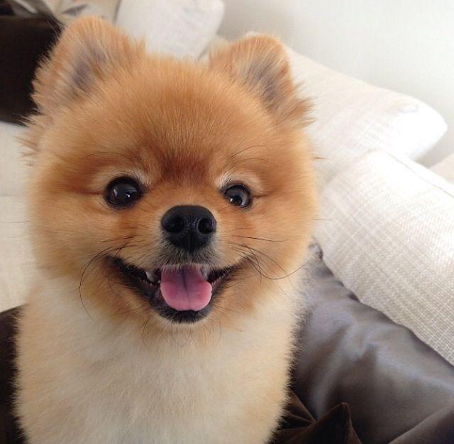 best 25 chien nain ideas on pinterest pomeranian nain