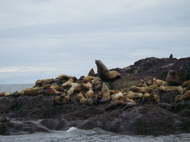 A pod of seals on Tofino and Bamfield, British Columbia, Canada #Tofino #Uclelet
